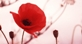 Poppies_events_thumb